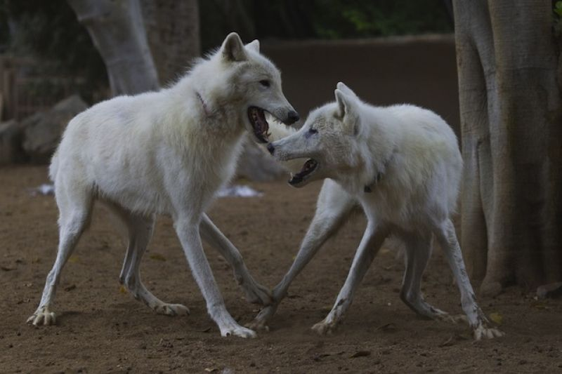 Two Wolves picture